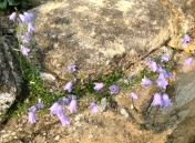 Name that very English flower growing outside St. Wilfrid's on a stone wall